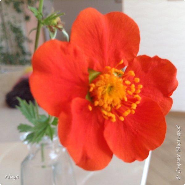 Сначала о камассии-цветонос высотой 40 -45 см., но бывают и выше. Цветы расположены вокруг цветоноса поочередно, листья в розетке длинные, узкие, цветы, как правило, срезаются без листьев.Семейство лилейных. фото 20
