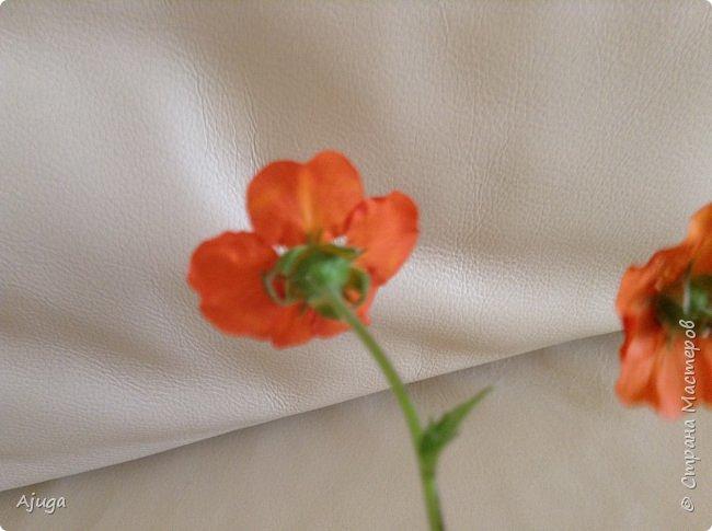 Сначала о камассии-цветонос высотой 40 -45 см., но бывают и выше. Цветы расположены вокруг цветоноса поочередно, листья в розетке длинные, узкие, цветы, как правило, срезаются без листьев.Семейство лилейных. фото 23