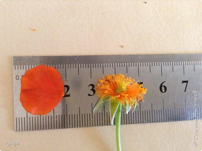 Сначала о камассии-цветонос высотой 40 -45 см., но бывают и выше. Цветы расположены вокруг цветоноса поочередно, листья в розетке длинные, узкие, цветы, как правило, срезаются без листьев.Семейство лилейных. фото 28