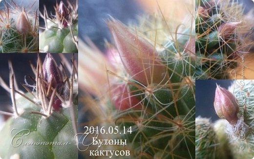 Доброго времени суток, Страна! Продолжаю хвастаться цветением своих зелёных ёжиков. В данном репортаже снимки за 14 и 15 мая. Для уменьшения количества фотографий сделал несколько коллажей. Приглашаю к просмотру. фото 2