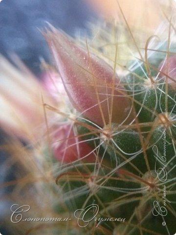 Доброго времени суток, Страна! Продолжаю хвастаться цветением своих зелёных ёжиков. В данном репортаже снимки за 14 и 15 мая. Для уменьшения количества фотографий сделал несколько коллажей. Приглашаю к просмотру. фото 3