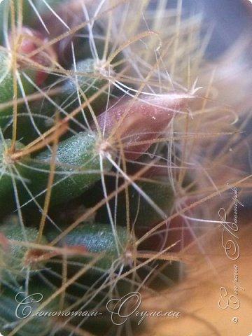 Доброго времени суток, Страна! Продолжаю хвастаться цветением своих зелёных ёжиков. В данном репортаже снимки за 14 и 15 мая. Для уменьшения количества фотографий сделал несколько коллажей. Приглашаю к просмотру. фото 4