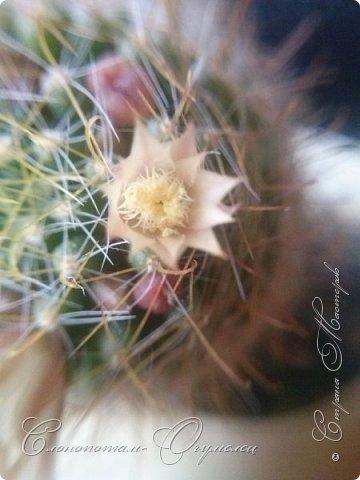 Доброго времени суток, Страна! Продолжаю хвастаться цветением своих зелёных ёжиков. В данном репортаже снимки за 14 и 15 мая. Для уменьшения количества фотографий сделал несколько коллажей. Приглашаю к просмотру. фото 6