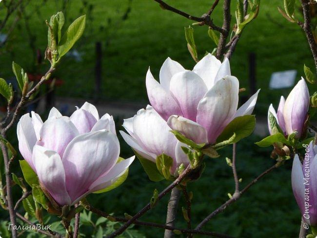 Майская Москва удивительно красива обилием цветущих деревьев, кустарников и многообразием цветов.  На первых двух фотографиях виды на Измайловский Кремль. фото 24
