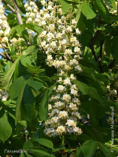 Майская Москва удивительно красива обилием цветущих деревьев, кустарников и многообразием цветов.  На первых двух фотографиях виды на Измайловский Кремль. фото 5