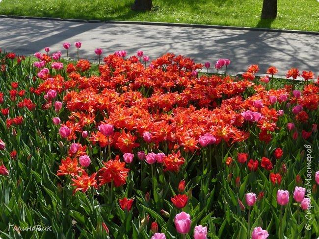Майская Москва удивительно красива обилием цветущих деревьев, кустарников и многообразием цветов.  На первых двух фотографиях виды на Измайловский Кремль. фото 10