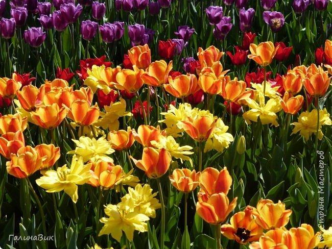 Майская Москва удивительно красива обилием цветущих деревьев, кустарников и многообразием цветов.  На первых двух фотографиях виды на Измайловский Кремль. фото 12