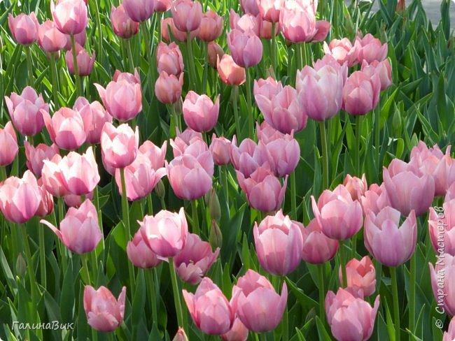 Майская Москва удивительно красива обилием цветущих деревьев, кустарников и многообразием цветов.  На первых двух фотографиях виды на Измайловский Кремль. фото 13