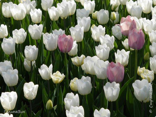 Майская Москва удивительно красива обилием цветущих деревьев, кустарников и многообразием цветов.  На первых двух фотографиях виды на Измайловский Кремль. фото 14