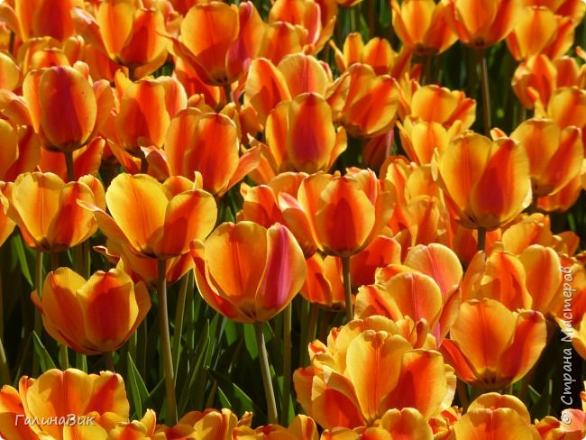 Майская Москва удивительно красива обилием цветущих деревьев, кустарников и многообразием цветов.  На первых двух фотографиях виды на Измайловский Кремль. фото 17