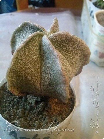 Доброго времени суток, Страна! Продолжаю рассказ о своих зелёных ёжиках - кактусятах. фото 5