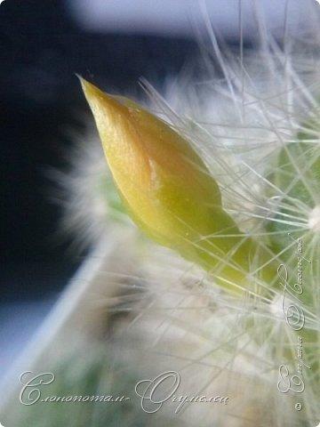 Доброго времени суток, Страна! Продолжаю рассказ о своих зелёных ёжиках - кактусятах. фото 15