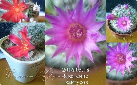 Доброго времени суток, Страна! Продолжаю рассказ о своих зелёных ёжиках - кактусятах. фото 16