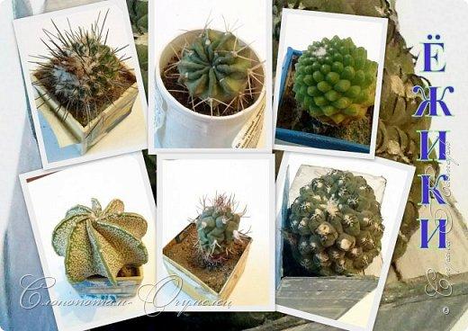 Доброго времени суток, Страна! Продолжаю рассказ о своих зелёных ёжиках - кактусятах. фото 1
