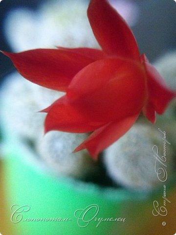 """Добрый день, жители и гости Страны Мастеров! Продолжаю свои прямые репортажи с места события - цветение моих любимых зелёных """"ёжиков"""" - кактусят. Фото за 19-21 мая. Фото довольно много, но хочется показать поэтапно (подённо) развитие бутонов и цветов кактуса. фото 13"""