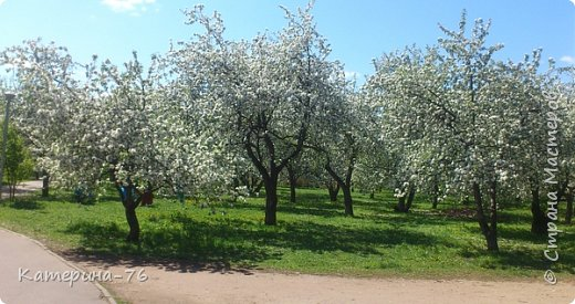 Здравствуйте, дорогие Мастера! Хочу поделиться с Вами красотой! Есть в Москве такое место - огромный яблоневый сад, бывшее владение Тимирязевской академии, а теперь это городской парк с дорожками, беседками, чудесными детскими площадками... Недавно гуляли там с младшим сыном, а там яблони цветут, красота  неописуемая.... фото 2