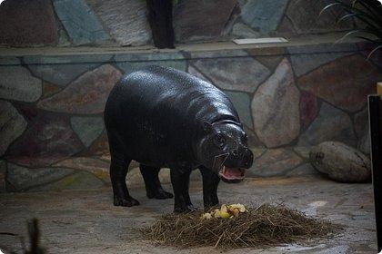 Здравствуйте! Наше новое приключение прошло в Екатеринбургском зоопарке. Зачем нужны зоопарки? Помимо того, что в зоопарках можно увидеть редких животных, там большое значение придают исследованию их поведения. Размножению животных в неволе уделяется большое внимание. Численность некоторых видов животных в природных популяциях настолько мала, что размножение в условиях зоопарков может быть единственным способом уберечь их от вымирания. В том случае, если удается получить многочисленное потомство, часть его выпускают в те места, где этот вид уже исчез.  фото 18