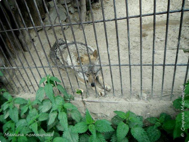 Здравствуйте! Наше новое приключение прошло в Екатеринбургском зоопарке. Зачем нужны зоопарки? Помимо того, что в зоопарках можно увидеть редких животных, там большое значение придают исследованию их поведения. Размножению животных в неволе уделяется большое внимание. Численность некоторых видов животных в природных популяциях настолько мала, что размножение в условиях зоопарков может быть единственным способом уберечь их от вымирания. В том случае, если удается получить многочисленное потомство, часть его выпускают в те места, где этот вид уже исчез.  фото 9