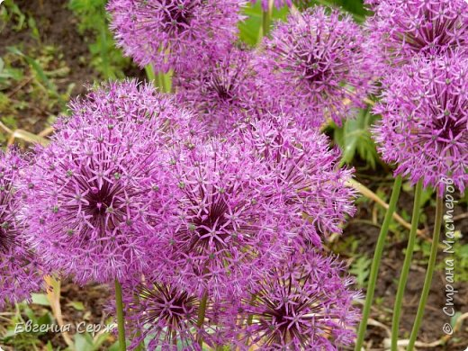 Добрый день жители СТРАНЫ!!!! Вот такой красавец радует меня своим цветением!!! Пион Kinkaku Jin Ge древовидный  фото 6