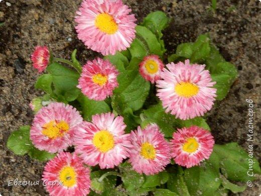 Добрый день жители СТРАНЫ!!!! Вот такой красавец радует меня своим цветением!!! Пион Kinkaku Jin Ge древовидный  фото 7