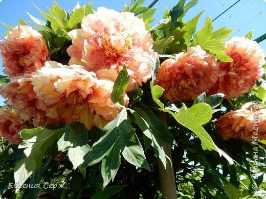 Добрый день жители СТРАНЫ!!!! Вот такой красавец радует меня своим цветением!!! Пион Kinkaku Jin Ge древовидный  фото 1