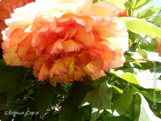 Добрый день жители СТРАНЫ!!!! Вот такой красавец радует меня своим цветением!!! Пион Kinkaku Jin Ge древовидный  фото 2