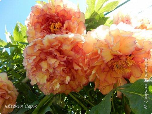 Добрый день жители СТРАНЫ!!!! Вот такой красавец радует меня своим цветением!!! Пион Kinkaku Jin Ge древовидный  фото 3