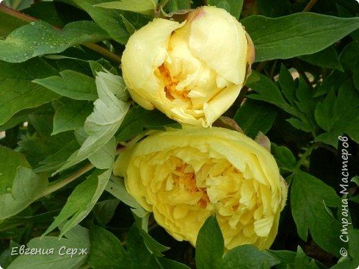 Добрый день жители СТРАНЫ!!!! Вот такой красавец радует меня своим цветением!!! Пион Kinkaku Jin Ge древовидный  фото 4