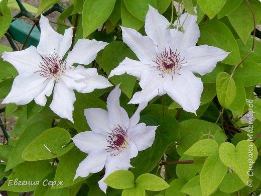 Добрый день жители СТРАНЫ!!!! Вот такой красавец радует меня своим цветением!!! Пион Kinkaku Jin Ge древовидный  фото 8
