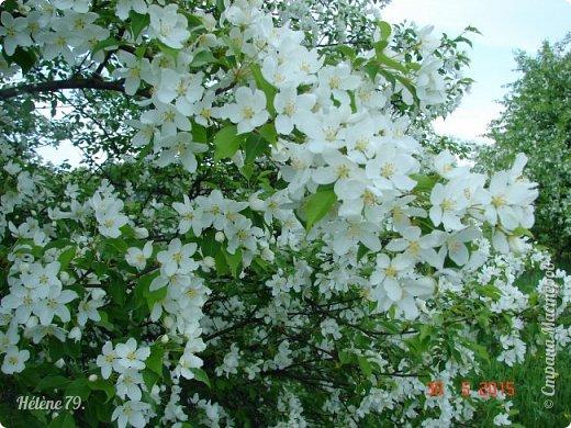 """""""Май бушует весной, Души наши пьянит Одурманенным запахом сада. Вишня цветом манит... фото 11"""