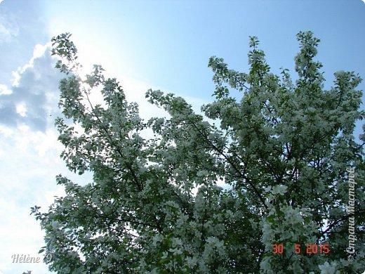 """""""Май бушует весной, Души наши пьянит Одурманенным запахом сада. Вишня цветом манит... фото 12"""