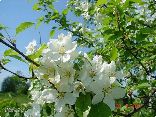"""""""Май бушует весной, Души наши пьянит Одурманенным запахом сада. Вишня цветом манит... фото 13"""