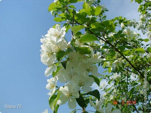"""""""Май бушует весной, Души наши пьянит Одурманенным запахом сада. Вишня цветом манит... фото 14"""
