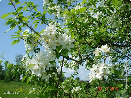"""""""Май бушует весной, Души наши пьянит Одурманенным запахом сада. Вишня цветом манит... фото 16"""
