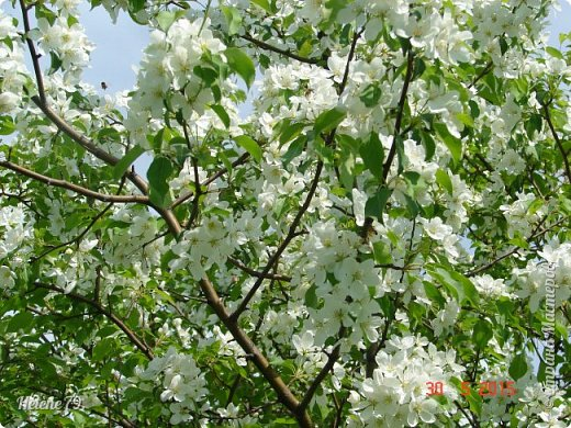"""""""Май бушует весной, Души наши пьянит Одурманенным запахом сада. Вишня цветом манит... фото 17"""
