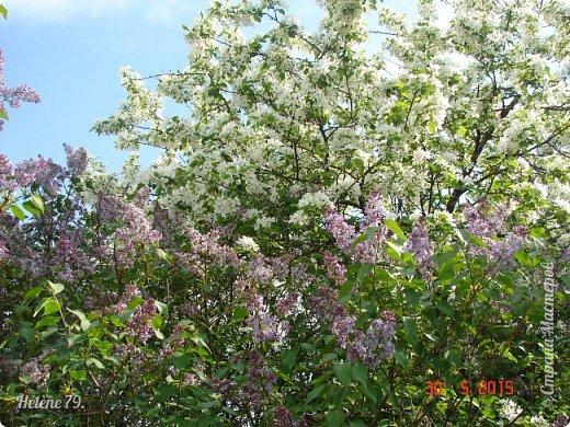 """""""Май бушует весной, Души наши пьянит Одурманенным запахом сада. Вишня цветом манит... фото 20"""