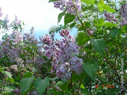 """""""Май бушует весной, Души наши пьянит Одурманенным запахом сада. Вишня цветом манит... фото 21"""
