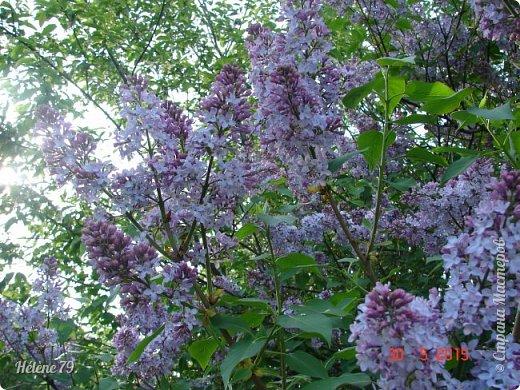"""""""Май бушует весной, Души наши пьянит Одурманенным запахом сада. Вишня цветом манит... фото 23"""