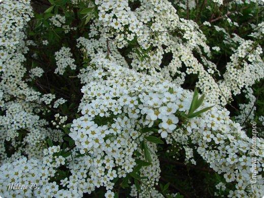 """""""Май бушует весной, Души наши пьянит Одурманенным запахом сада. Вишня цветом манит... фото 31"""