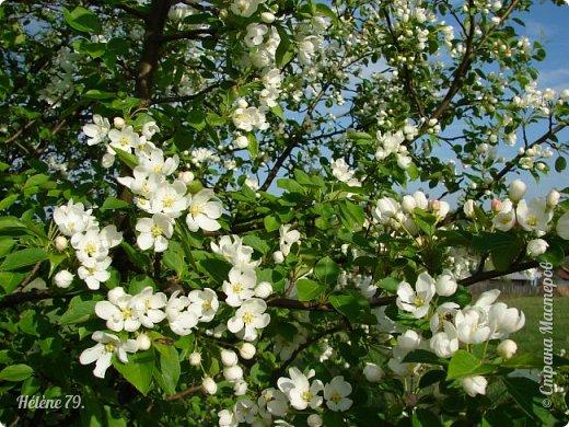"""""""Май бушует весной, Души наши пьянит Одурманенным запахом сада. Вишня цветом манит... фото 24"""