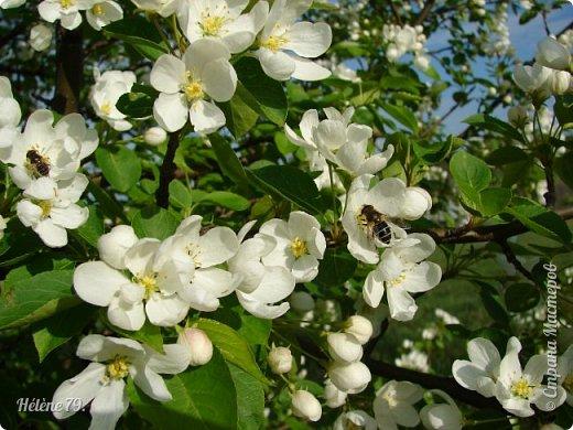 """""""Май бушует весной, Души наши пьянит Одурманенным запахом сада. Вишня цветом манит... фото 25"""