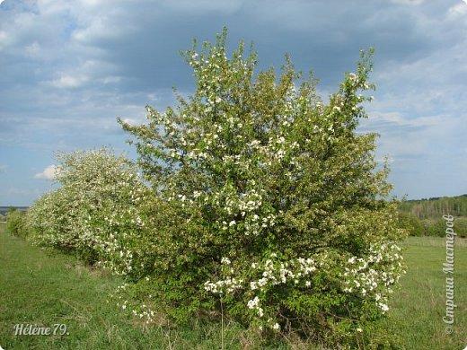 """""""Май бушует весной, Души наши пьянит Одурманенным запахом сада. Вишня цветом манит... фото 26"""