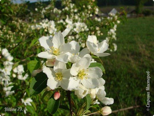 """""""Май бушует весной, Души наши пьянит Одурманенным запахом сада. Вишня цветом манит... фото 27"""