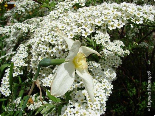 """""""Май бушует весной, Души наши пьянит Одурманенным запахом сада. Вишня цветом манит... фото 33"""