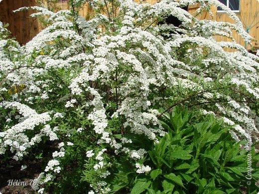 """""""Май бушует весной, Души наши пьянит Одурманенным запахом сада. Вишня цветом манит... фото 34"""