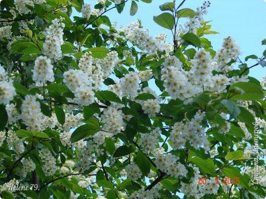 """""""Май бушует весной, Души наши пьянит Одурманенным запахом сада. Вишня цветом манит... фото 8"""