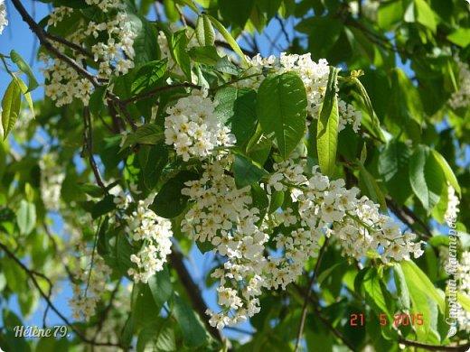"""""""Май бушует весной, Души наши пьянит Одурманенным запахом сада. Вишня цветом манит... фото 9"""