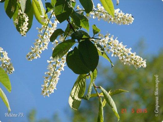 """""""Май бушует весной, Души наши пьянит Одурманенным запахом сада. Вишня цветом манит... фото 10"""