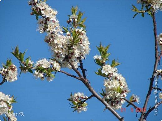 """""""Май бушует весной, Души наши пьянит Одурманенным запахом сада. Вишня цветом манит... фото 2"""
