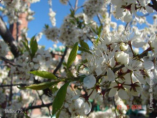 """""""Май бушует весной, Души наши пьянит Одурманенным запахом сада. Вишня цветом манит... фото 3"""